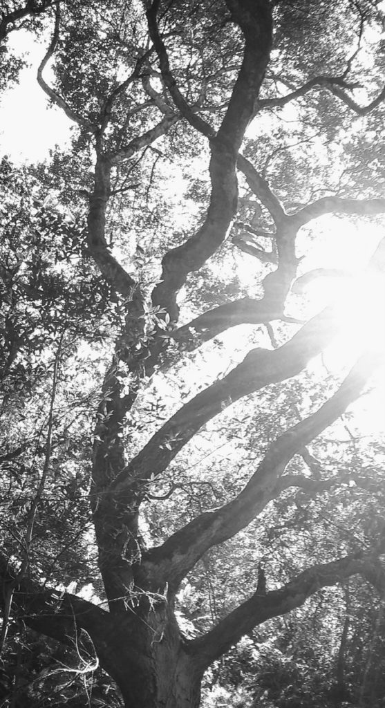 Oak tree in Huckleberry Botanic Regional Preserve, Oakland, CA